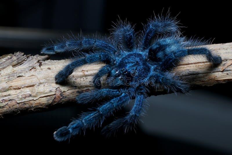 Молодой женский тарантул пальца ноги Антильских островов розовый стоковое изображение