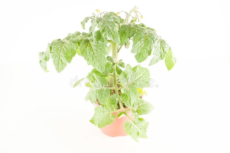 Молодой завод томата стоковые фото