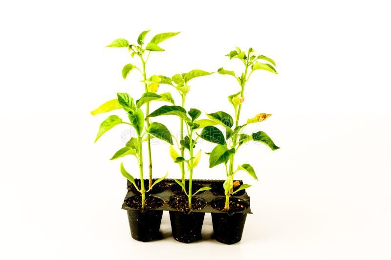 Молодой завод томата стоковые изображения rf