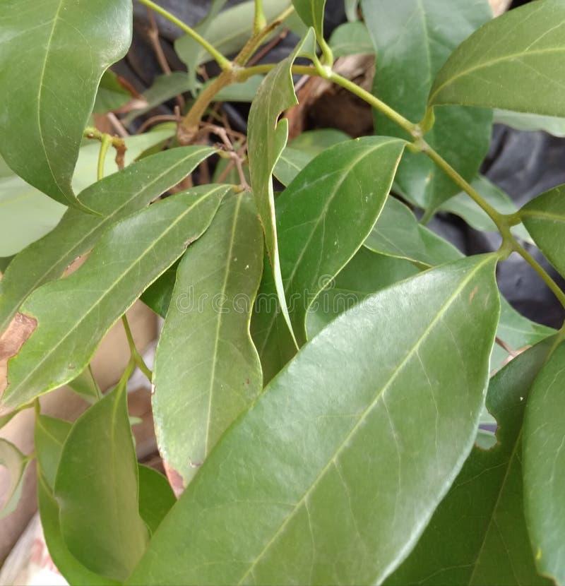 Молодой завод Litchi chinensis, плод litchi Nephelium в саде стоковые изображения