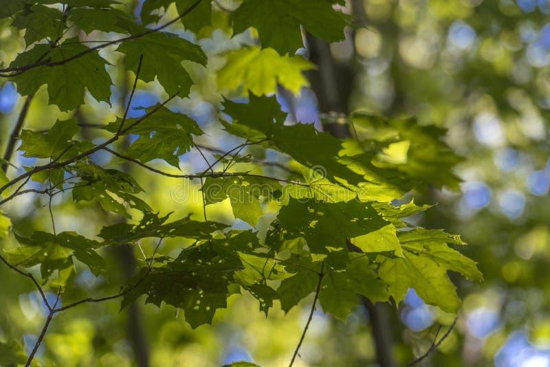 Молодой кленовый лист ранним летом стоковое изображение