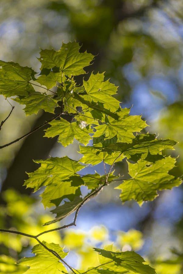 Молодой кленовый лист ранним летом стоковые изображения