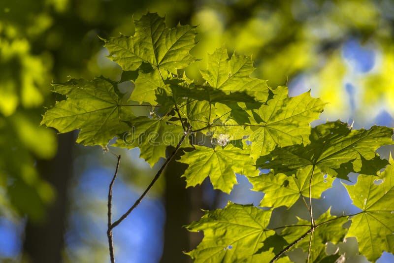 Молодой кленовый лист ранним летом стоковое изображение rf