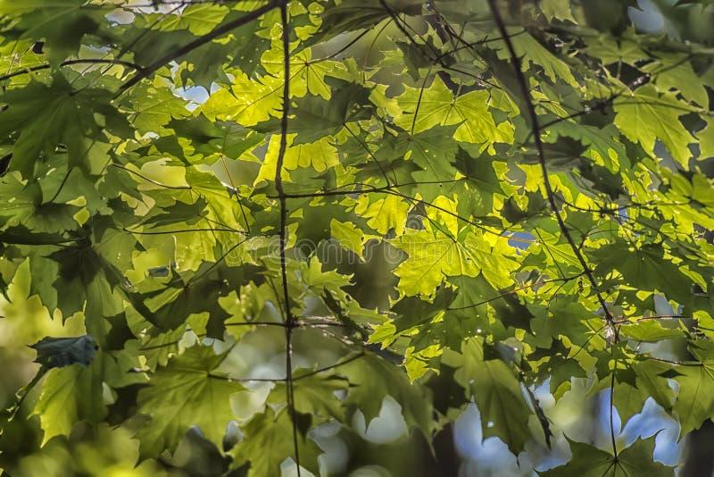 Молодой кленовый лист ранним летом стоковые фотографии rf