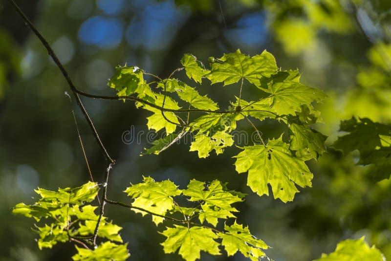Молодой кленовый лист ранним летом стоковое фото rf