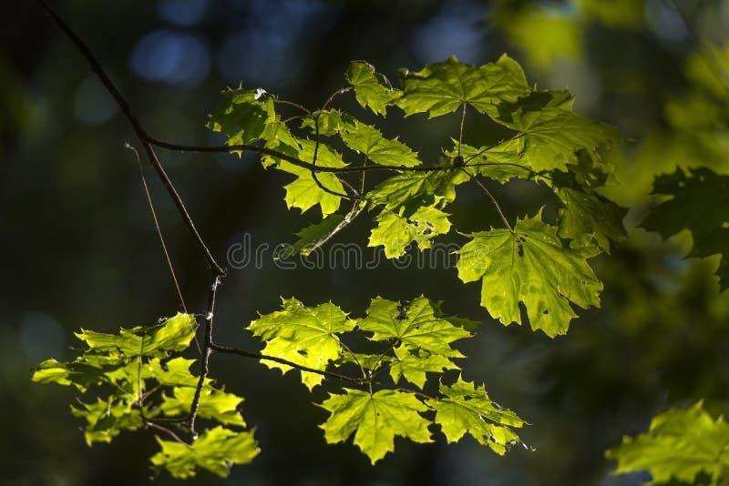Молодой кленовый лист ранним летом стоковые фото