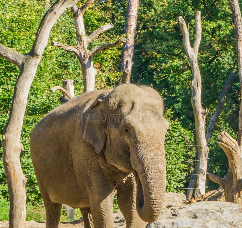 Молодой коричневый африканский слон кладя его хобот в его портрет крупного плана рта животный стоковые фото