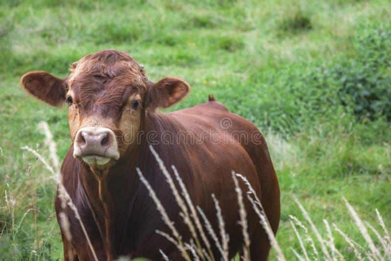 Молодой коричневый бык немецкой породы на луге стоковая фотография