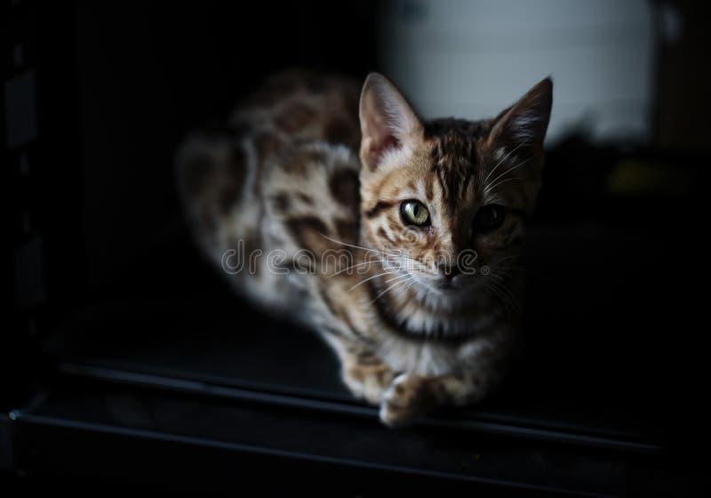 Молодой котенок Бенгалии на одеяле стоковые изображения