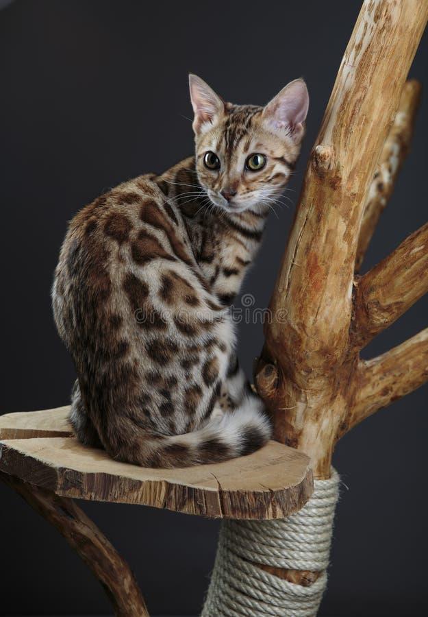 Молодой котенок Бенгалии под таблицей стоковая фотография