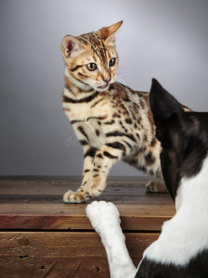 Молодой котенок кота Бенгалии с терьером Бостон стоковые изображения