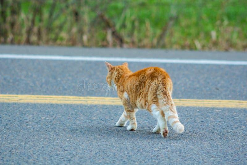 Молодой кот идя через сельскую дорогу стоковое изображение rf