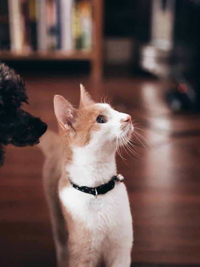 Молодой кот при пудель смотря вверх стоковое изображение