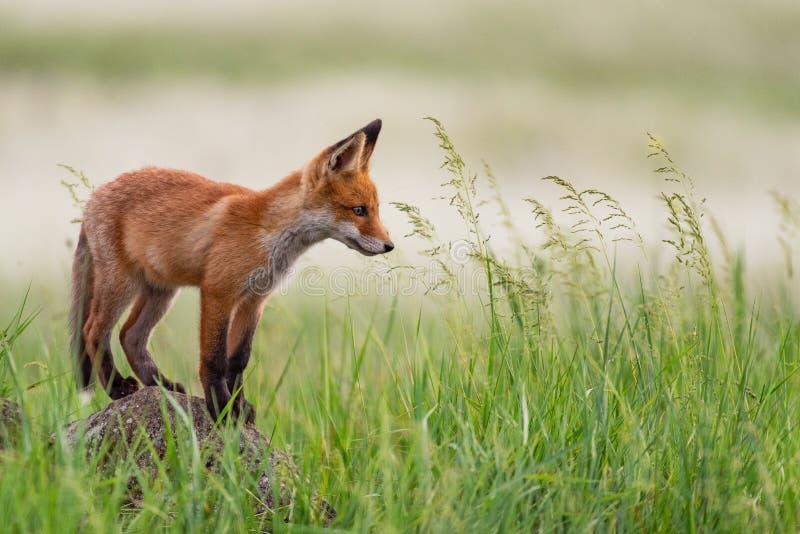 Молодой красный Fox стоит на утесе в траве стоковое изображение