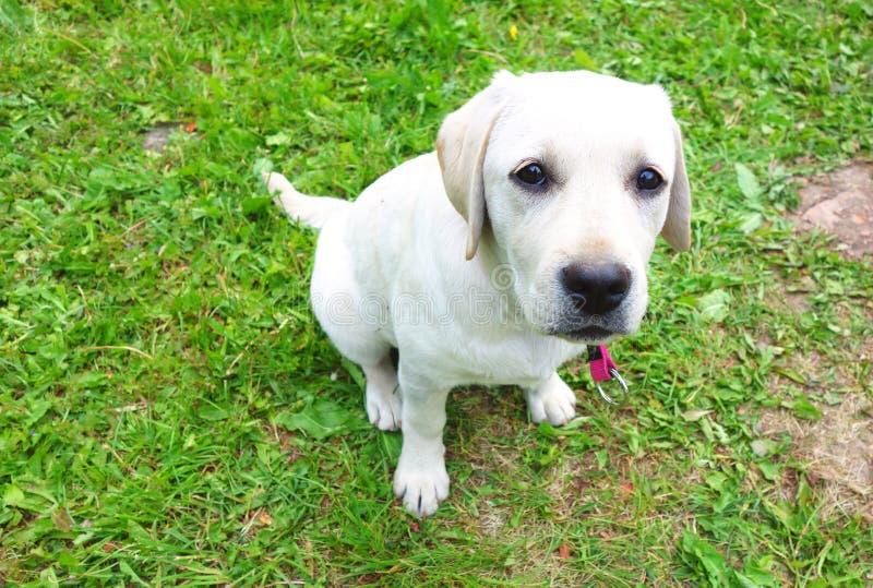 Молодой лабрадорский щенок летом стоковая фотография rf