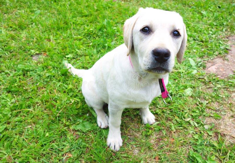 Молодой лабрадорский щенок летом стоковое изображение rf