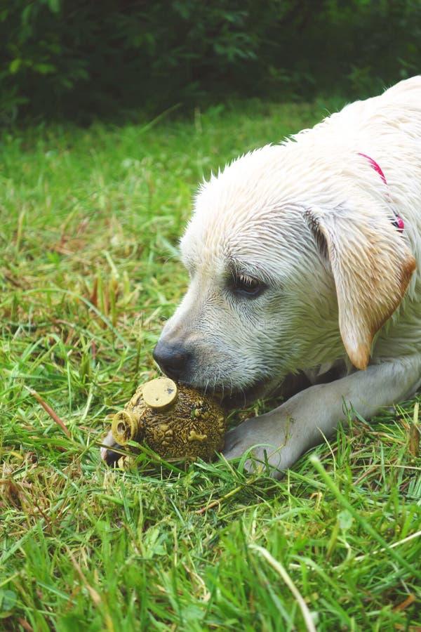 Молодой лабрадорский щенок летом стоковые фотографии rf