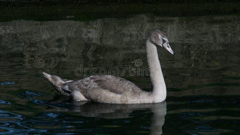 Молодой молодой лебедь безмолвного лебедя с серым плаванием оперения на озере летом стоковое изображение