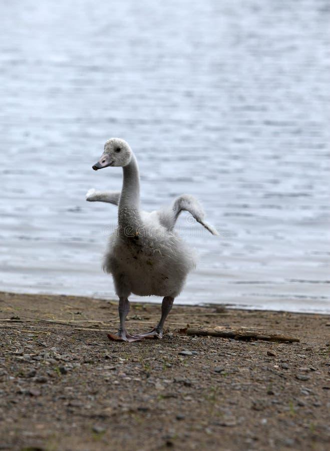 Молодой лебедь на банке озера стоковое изображение rf
