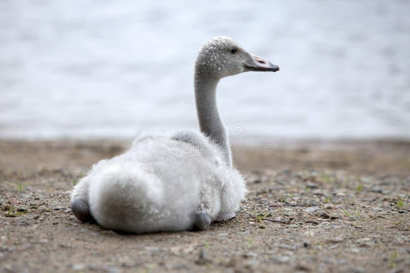 Молодой лебедь на банке озера стоковые изображения rf