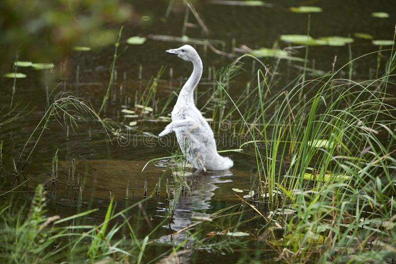 Молодой лебедь на банке озера стоковая фотография rf