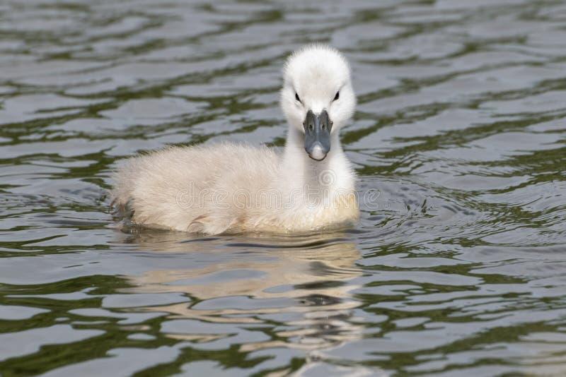 Молодой лебедь на воде стоковые изображения rf
