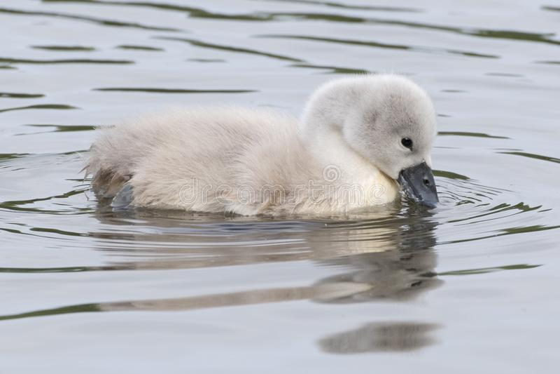 Молодой лебедь на воде стоковое фото rf