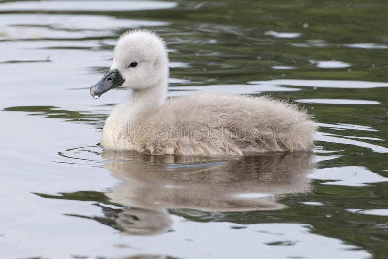 Молодой лебедь на воде стоковая фотография rf