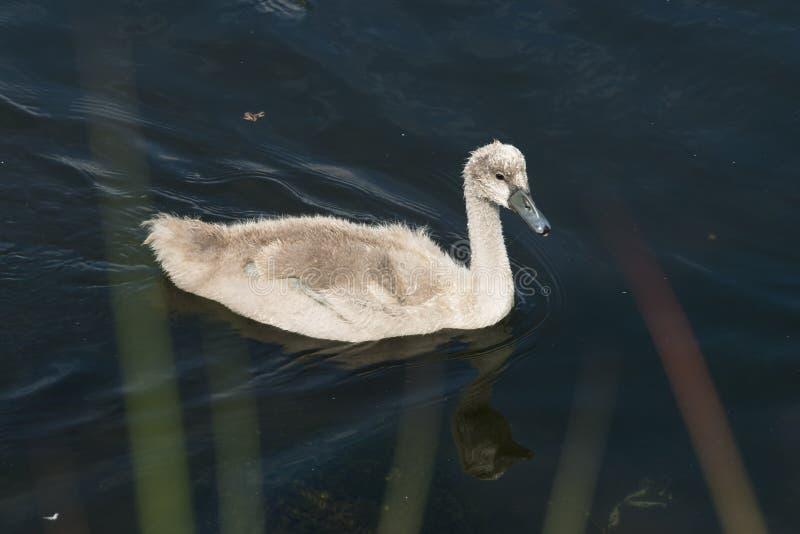 Молодой лебедь на воде стоковое изображение