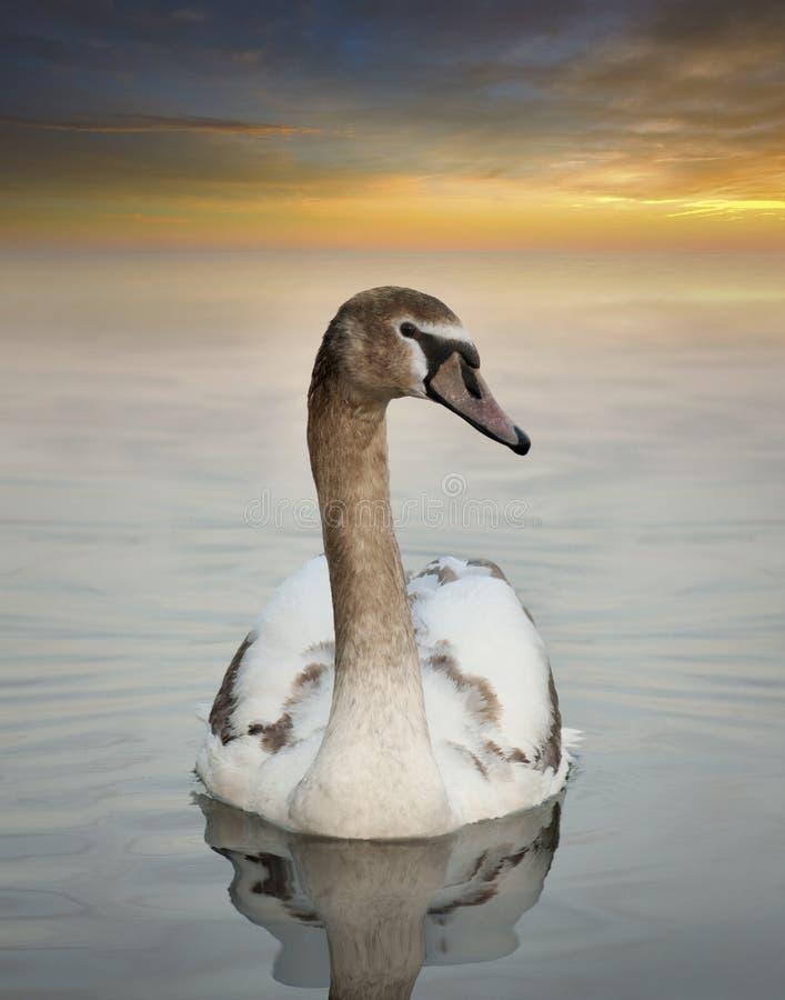 Молодой лебедь стоковые фото