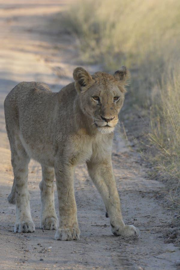 Молодой лев стоя на дороге песка смотря наблюдательный стоковое изображение rf
