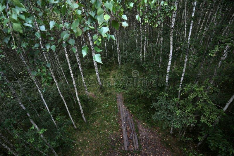 Молодой лес березы, белые хоботы деревьев Взгляд леса лета сверху стоковая фотография