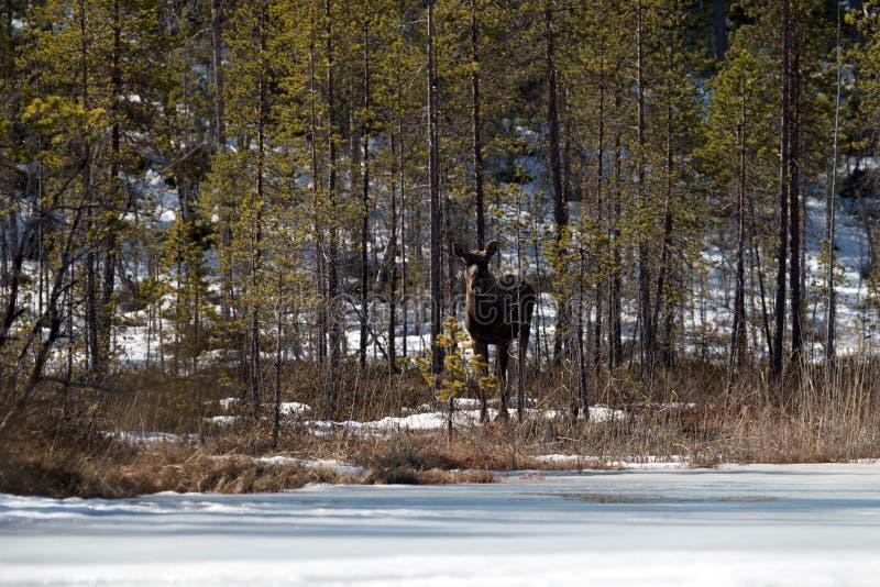 Молодой лось в сосновом лесе весной стоковая фотография rf