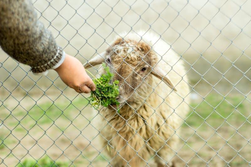 Молодой мальчик подает овца через связанную проволокой загородку Он дает овцам зеленую еду с его рукой стоковые изображения