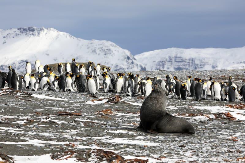 Молодой морской котик представляет перед колонией пингвинов короля стоковое изображение rf