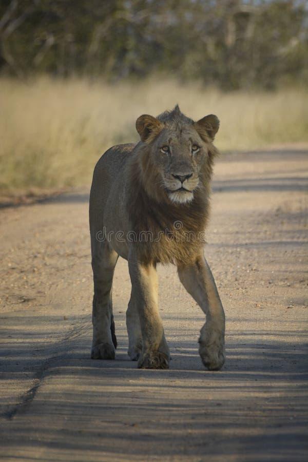 Молодой мужской лев идя на дорогу песка смотря бдительный стоковое фото