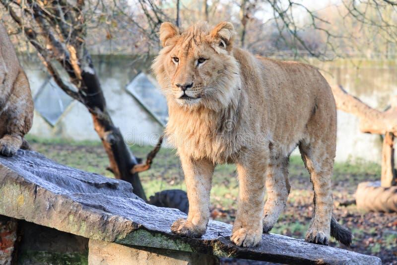 Молодой мыжской лев стоковое изображение rf