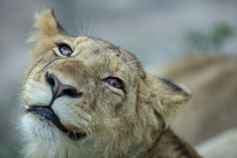 Молодой мыжской портрет льва стоковое изображение rf