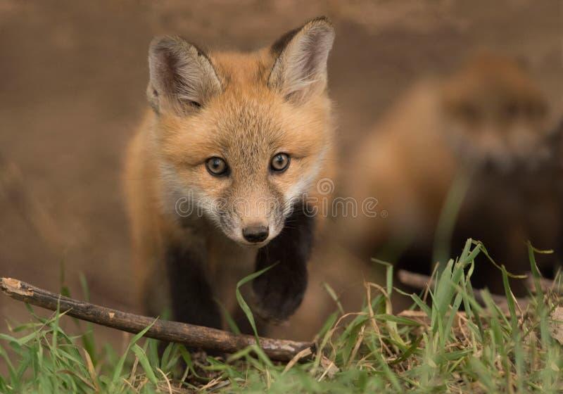 Молодой набор красной лисы любознателен вне его вертепа в луге стоковое фото rf