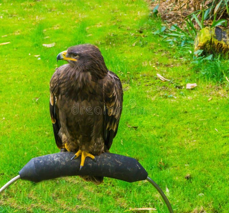 Молодой неполовозрелый коричневый белоголовый орлан также известный как орел моря красивый портрет хищной птицы стоковые фотографии rf
