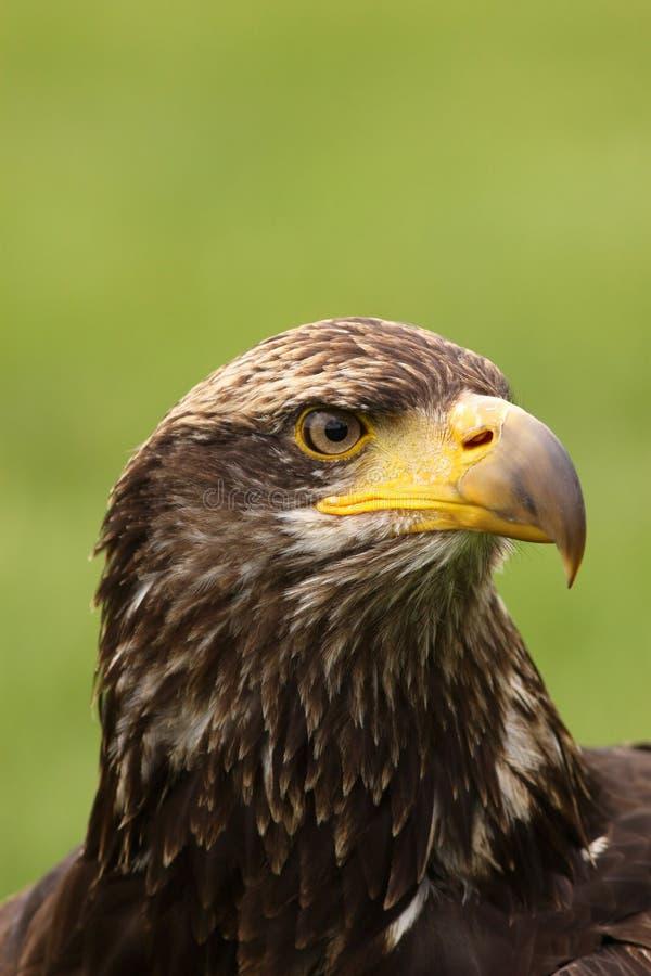 Молодой облыселый орел стоковое изображение