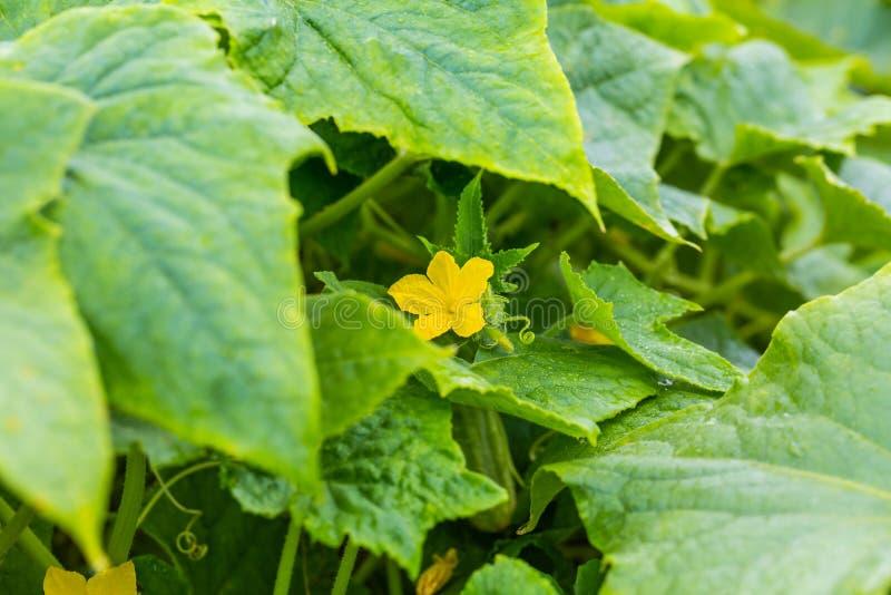 Молодой огурец зеленого растения с желтыми цветками в саде с падениями воды после дождя Сочный свежий огурец стоковые изображения