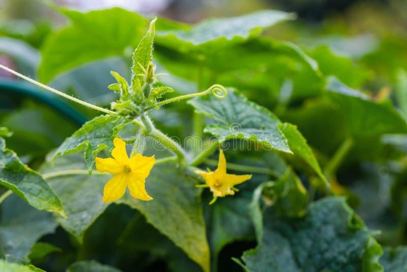 Молодой огурец зеленого растения с желтыми цветками в саде с падениями воды после дождя Сочный свежий огурец стоковая фотография rf