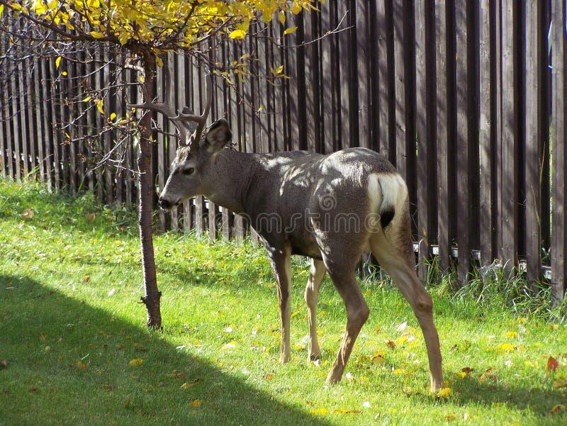 Молодой олень осенью стоковые изображения rf