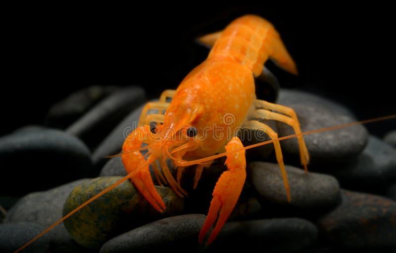Молодой омар раков с малым утесом стоковое изображение rf