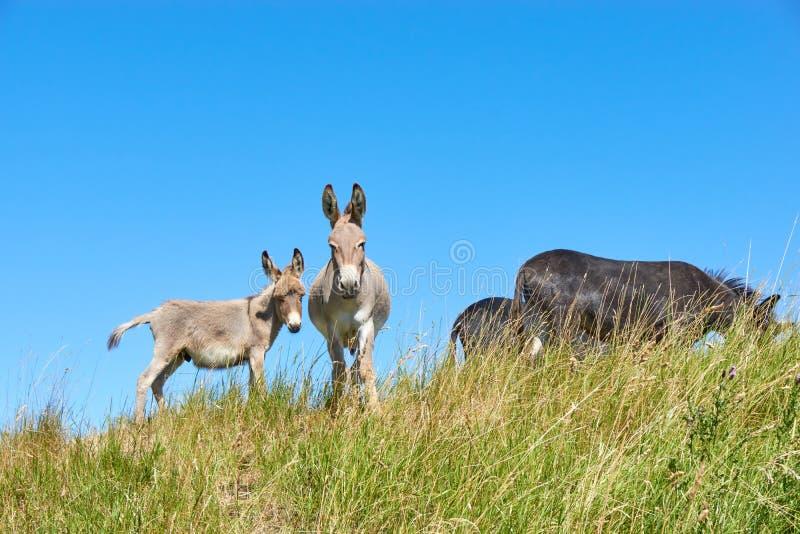 Молодой осел и женский осел стоя рядом друг с другом в поле с длинной травой стоковое фото rf