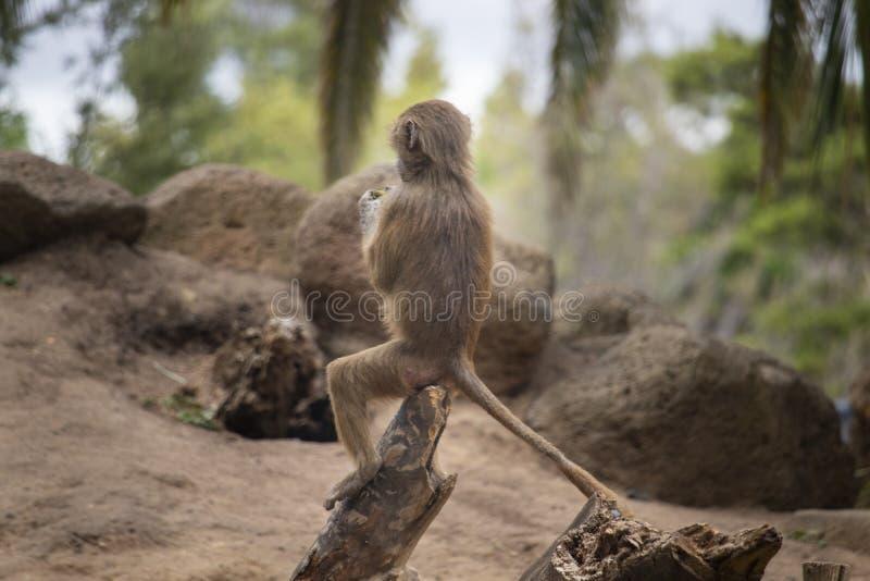 Молодой павиан сидя на журнале стоковые фотографии rf