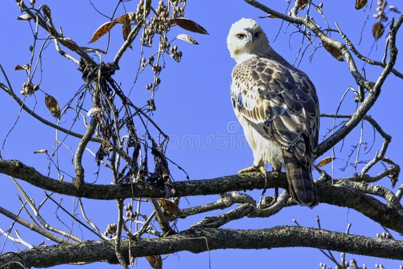 Молодой переменчивый ястреб-орел или crested ястреб-орел в национальном парке Джим Corbett, Индии стоковые фото