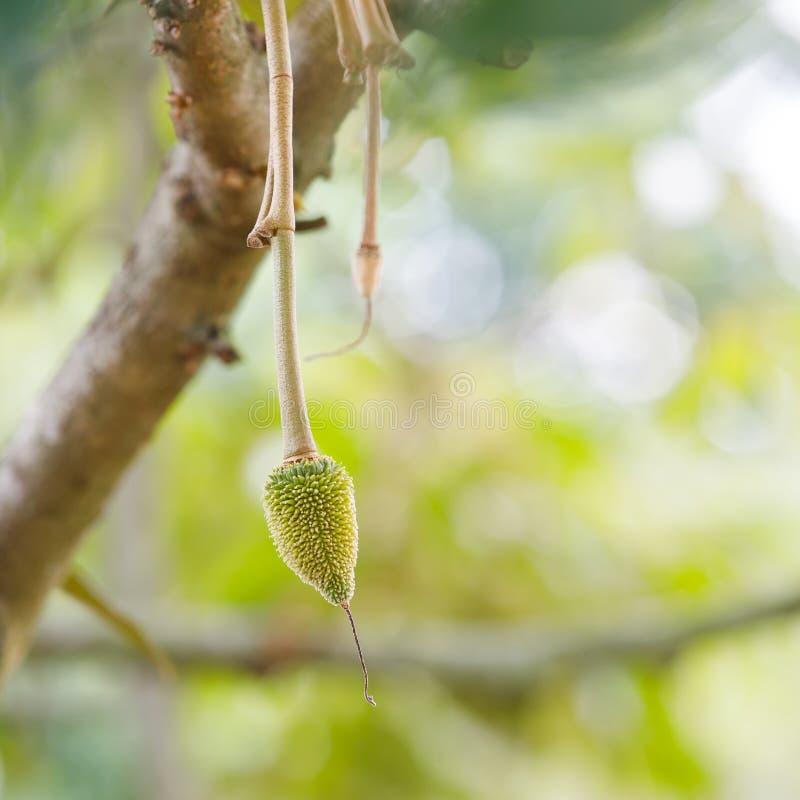 Молодой плодоовощ дуриана на дереве стоковое изображение