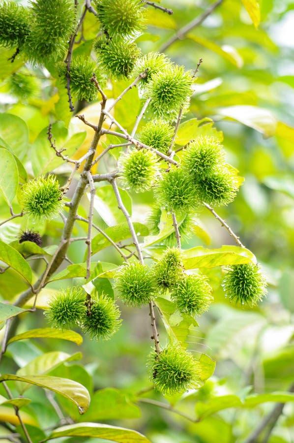 Молодой плодоовощ рамбутана на дереве в саде стоковая фотография rf
